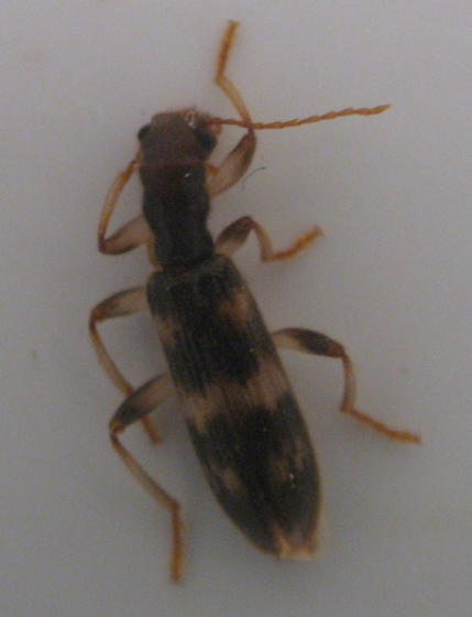 beetle under bark - Cymatodera undulata