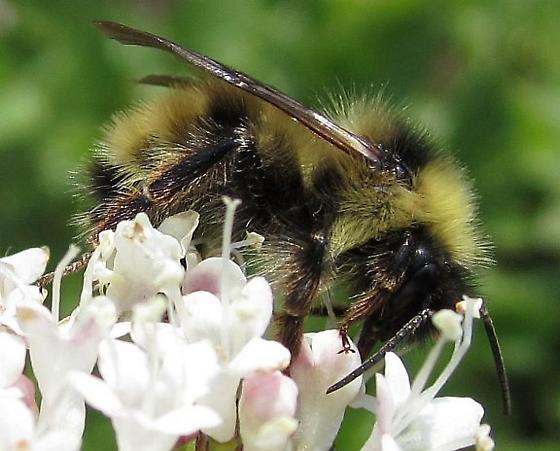Unknown Bee - Bombus fernaldae