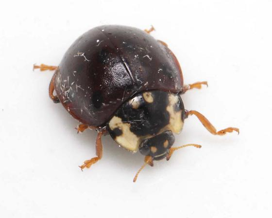 Fifteen-spotted Lady Beetle, frontal - Anatis labiculata