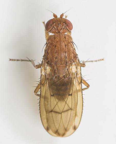Fly - Suillia quinquepunctata