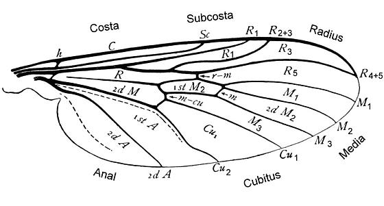 Wing venation of a fly, Anisopus
