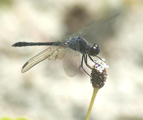 Slaty Skimmer - Libellula incesta