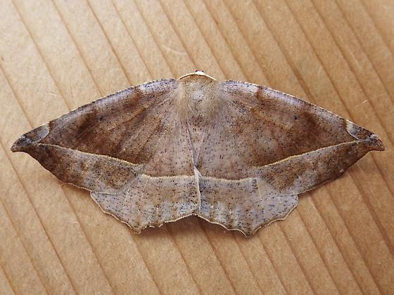 Geometridae: Eutrapela clemataria - Eutrapela clemataria