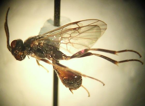 Roproniidae - Ropronia garmani - Ropronia garmani - female