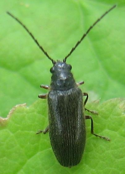 Downeast Beetle - Eurypogon niger