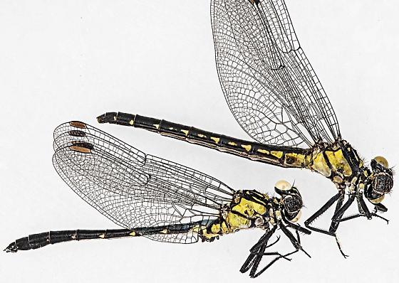 female & male - Lanthus vernalis - male - female