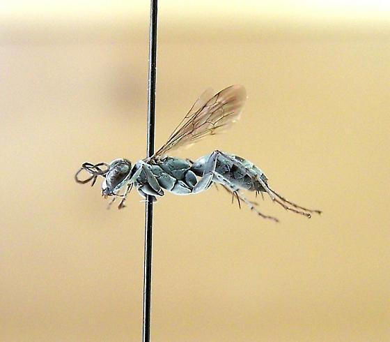 Aporinellus fasciatus - female
