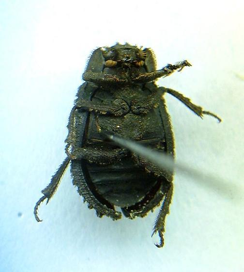 Trox variolatus - female