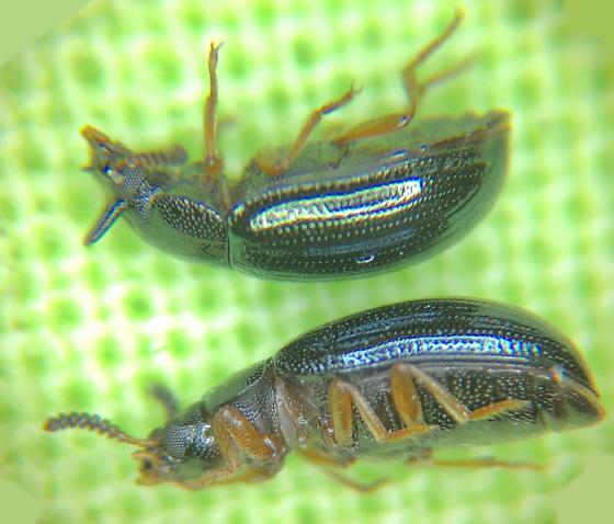TENEBRIONIDAE   Neomida bicornis   Darkling beetle