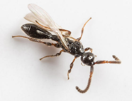 Wasp - Belyta