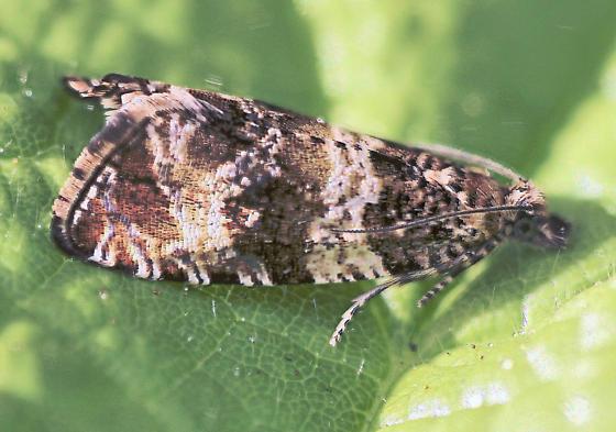 MT5 Moth - Celypha cespitana