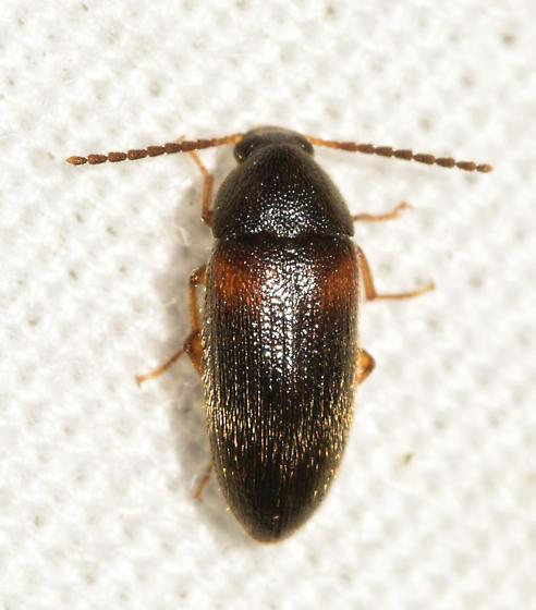 beetle062219-6 - Mycetochara