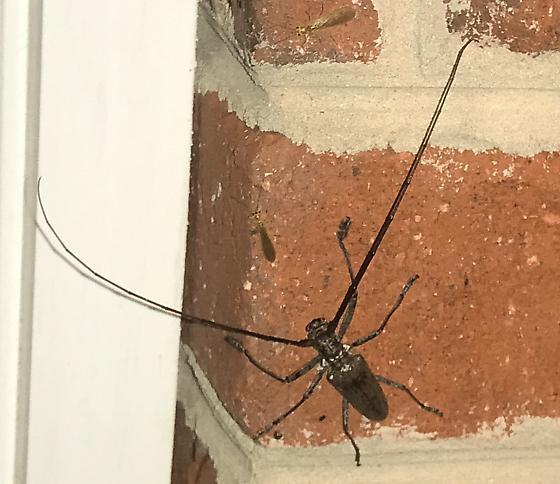Long horned beetle. ? Sawyer vs borer - Monochamus scutellatus