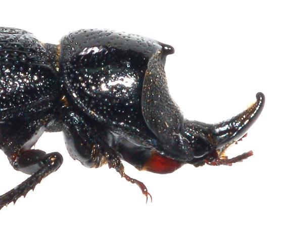Pinned Specimen - Sinodendron rugosum - male