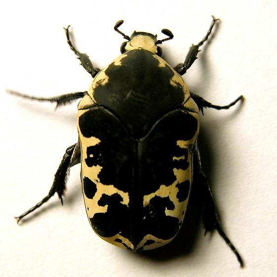 Gymnetis flavomarginata (Cetoniinae) - Harlequin Flower Beetle, Arizona Jewel Beetle - Gymnetis thula - male