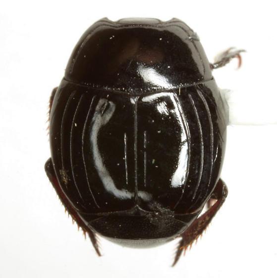 Atholus nubilus (LeConte) - Atholus nubilus