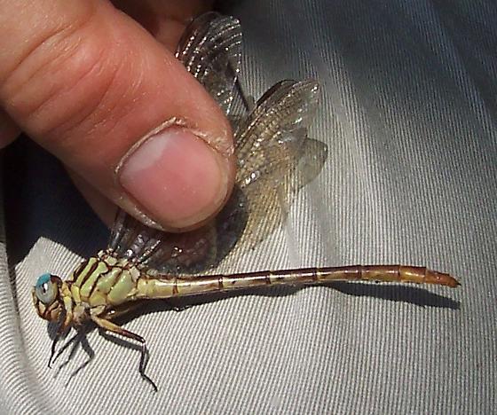 Clubtail? - Stylurus plagiatus