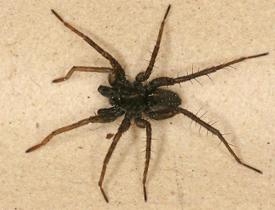 wolf spider - Pardosa vancouveri - male