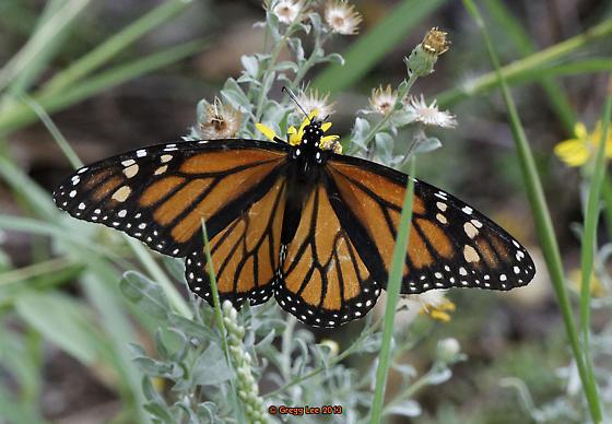 Monarch laying eggs.  Unusual date/location  - Danaus plexippus - female
