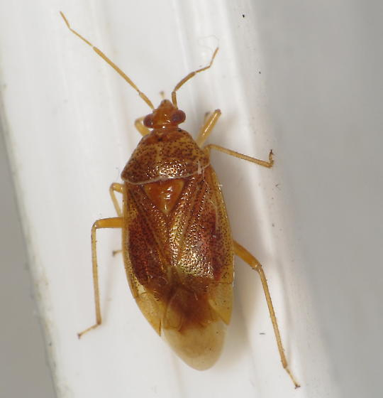 unknown mirid Apr 8 - Deraeocoris