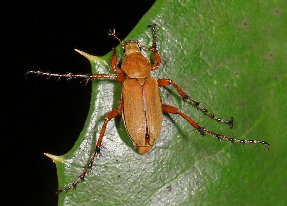 Scarab - Macrodactylus? - Macrodactylus