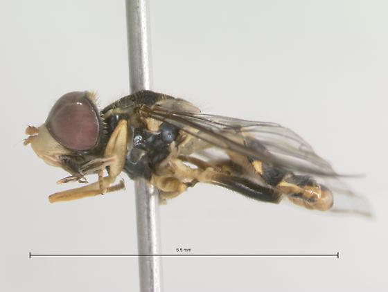Syrphidae - Toxomerus occidentalis