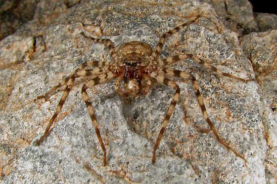 Sonoran desert spider munching on something - Selenops