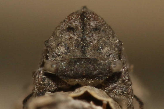 Microcentrus caryae