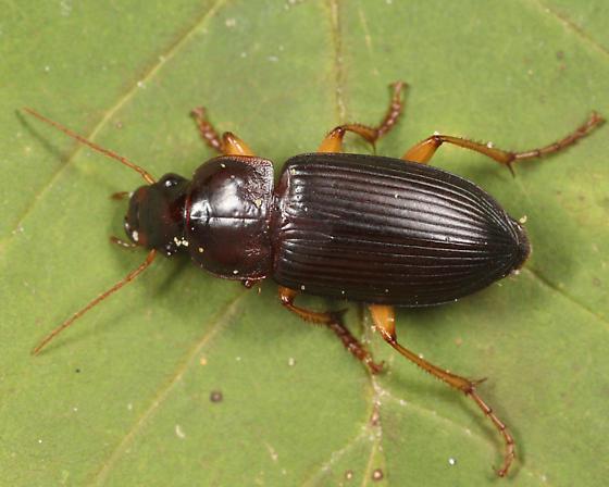 Pennsylvania Dingy Ground Beetle - Harpalus pensylvanicus