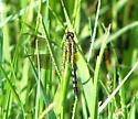 Immature Band-winged Dragonlet? - Erythrodiplax umbrata