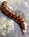 Starnose Larva - Phengodes