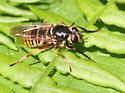 Spilomyia Syrphid - Temnostoma dachous - Sphecomyia pattonii