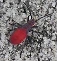 Subfamily Serinethinae - Soapberry Bugs - Jadera haematoloma
