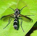 Cordyligaster septentrionalis - female