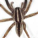 Monster Spider - Rabidosa rabida