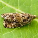 Tortricid Moth - Olethreutes permundana