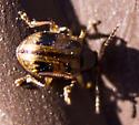 Chrysomelidae? - Paria fragariae-complex