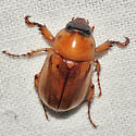Masked Chafer Beetle - Cyclocephala