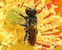 Lithurgus - Lithurgopsis - male
