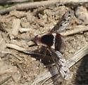 Bombylidae sp ? - Bombylius pygmaeus