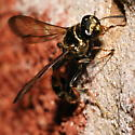 Some type of Sphex wasp? - Trypoxylon