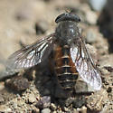 Horsefly (Tabanus sp.)? - Hybomitra - female
