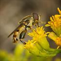 Family Syrphidae-Syrphid Flies, ID please - Tropidia albistylum - male