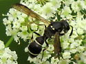 unknown hymenoptera - Symmorphus cristatus
