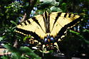 Swallowtail butterfly? - Papilio rutulus - male
