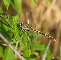 Sulphur-tipped clubtail - Phanogomphus militaris - female