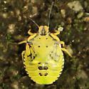 Green Stink Bug - Dorsal - Chinavia hilaris