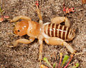 Point Conception Jerusalem Cricket - Ammopelmatus muwu - male