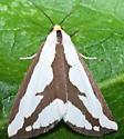 Moth ID - Haploa lecontei