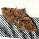 Common Fungus Moth - Hodges #8499 - Metalectra discalis